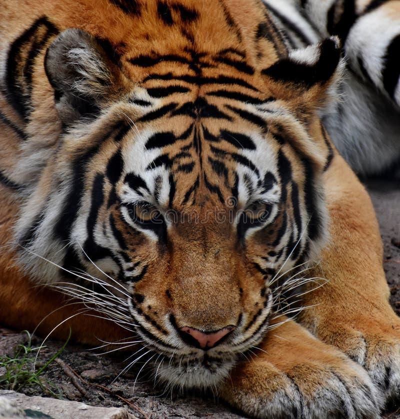 male tiger för ståendeprofilstirrande dig fotografering för bildbyråer