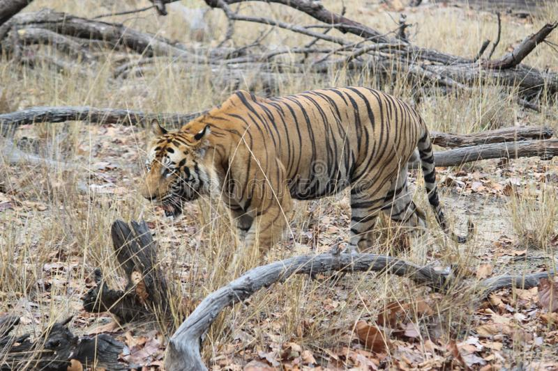 A male tiger in a hot summer. Male tiger looking for water body in a hot summer in bandhavgrah natonal park india stock photo