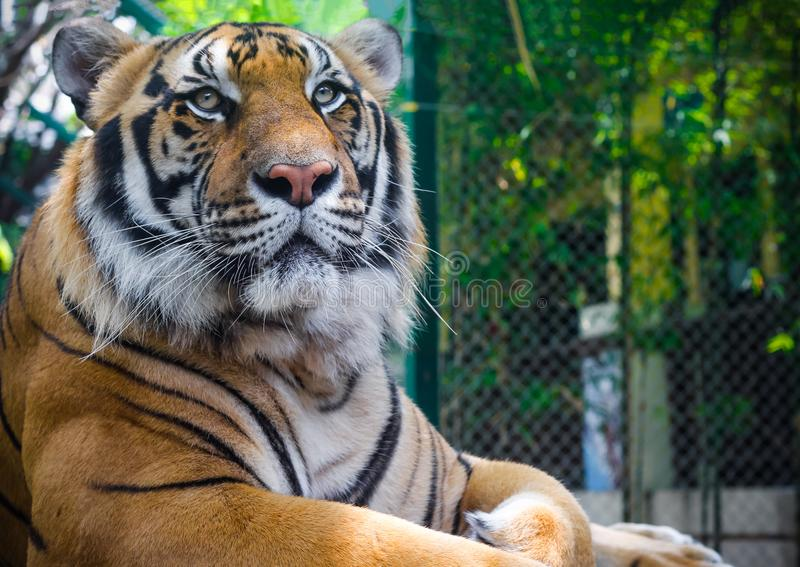 Male Tiger at the Tiger Kingdom. Large male tiger laying down and looking into the distance in Tiger Kingdom. Located north of Chiang Mai, Thailand stock image