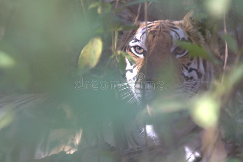 Male Tiger stock images