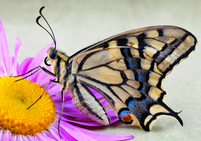 Male tiger swallowtail butterfly on flower. Beautiful male tiger swallowtail butterfly on flower stock photography