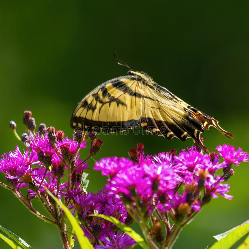Male Tiger Swallowtail in Hovering above Purple Wildlfower. A gorgeous male Tiger Swallowtail is hovering in flight above purple wildflower in Fox Ridge State royalty free stock images