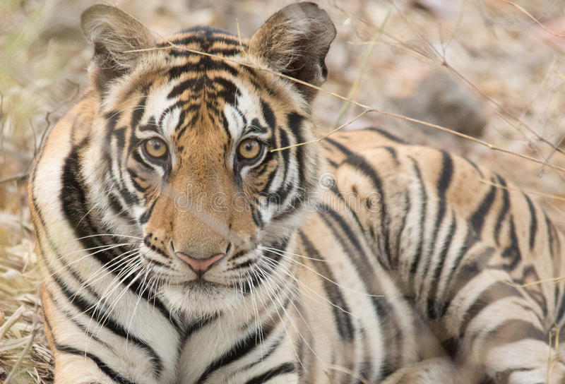 Male Tiger. Young male tiger, Bandavgahr National Park, India stock image