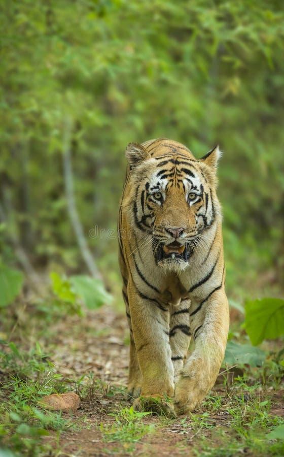 Male tiher walking headon at Tadoba Andhari Tiger Reserve. Chandrapur, maharashtra royalty free stock photography