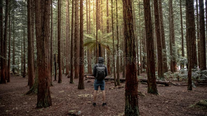 Male traveler looking up in Redwood forest royalty free stock image