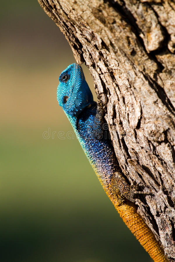 Male Tree Agama Stock Image