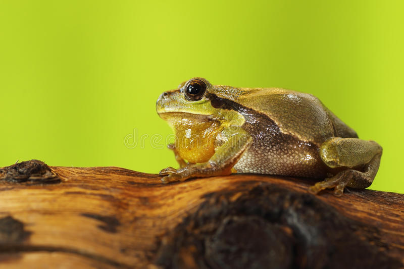 Male tree frog singing on wood stump royalty free stock photography