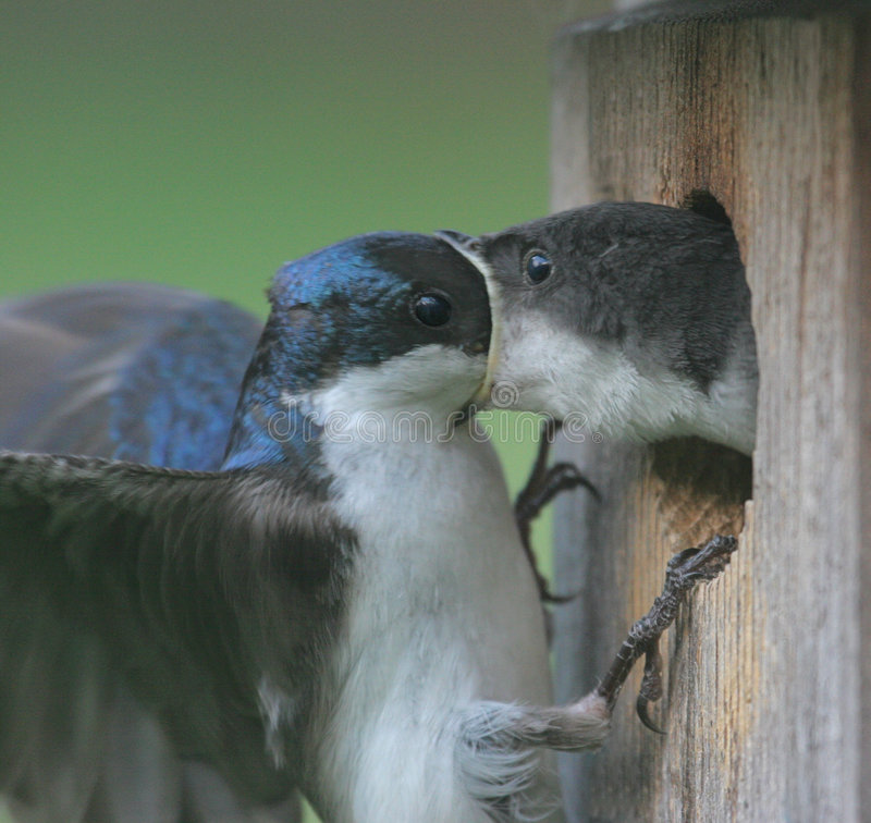 Download Male Tree Swallow Feeding Baby Stock Image - Image: 3250243