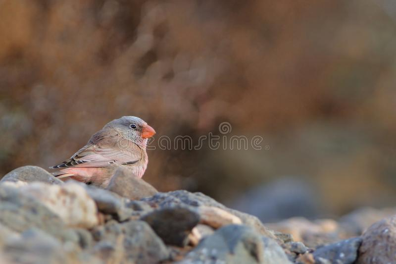 Male Trumpeter Finch - Bucanetes githagineus. Sitting on the rock, beautiful pink and gey song bird living in deserts and semi-deserts of the north Africa stock images