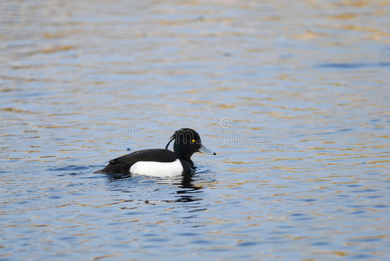 Tufted Duck. Male Tufted Duck swimming on a lake royalty free stock photos