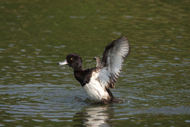 Tufted duck on water. Male tufted duck on water , Aythya fuligula stock images