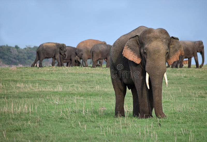 Male tusker and a herd of wild elephants. Asian elephant with tusks stand out of the herd. Males leave the herd at maturity and return only for mating