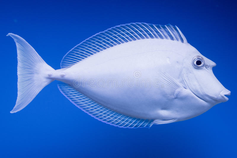 Male Unicorn Tang. The Bluespine Unicorn Tang, also known as the Unicorn Tang and Unicornfish, and is blue-green to olive in color, with a blue edge on the royalty free stock photography