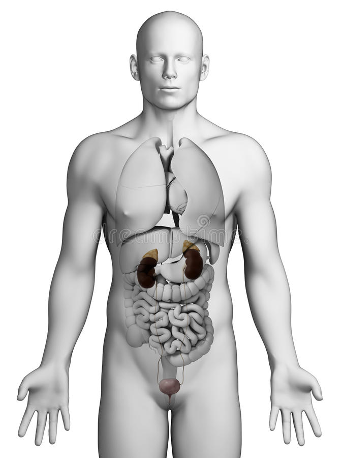 Male Urinary System Stock Illustrations – 1,190 Male Urinary