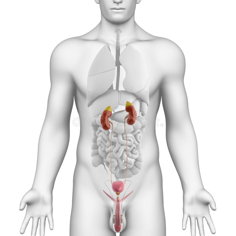 Male urogenital tract anatomy on white angle view
