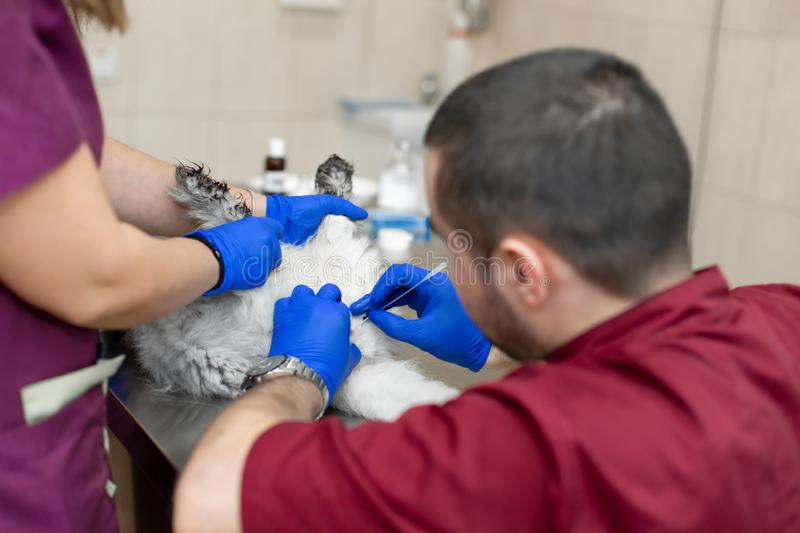 A male veterinarian anesthesiologist makes the procedure for a cat - a catheterization of the bladder. The assistants are holding stock image