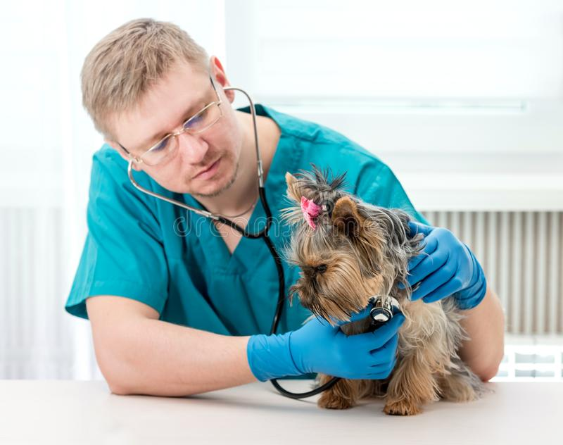 Veterinarian examining Yorkshire Terrier dog with stethoscope royalty free stock images