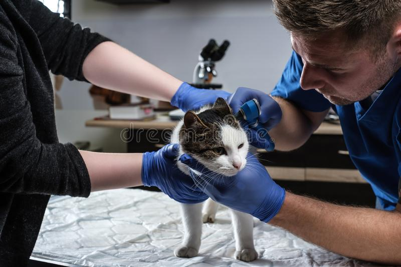 Male veterinarian examining cat ear infection with an otoscope in a vet clinic. royalty free stock images