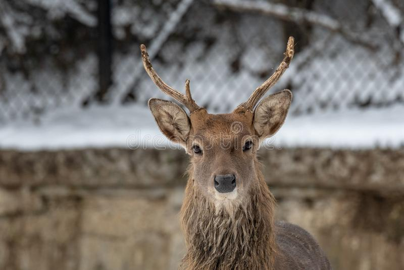 Male Vietnamese Sika Deer Cervus nippon pseudaxis royalty free stock photo