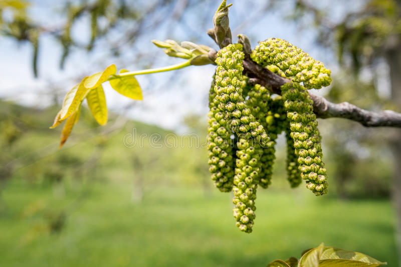 Male walnut flowers. A branch of a walnut tree (Juglans regia) with male flowers blooming in the spring royalty free stock image