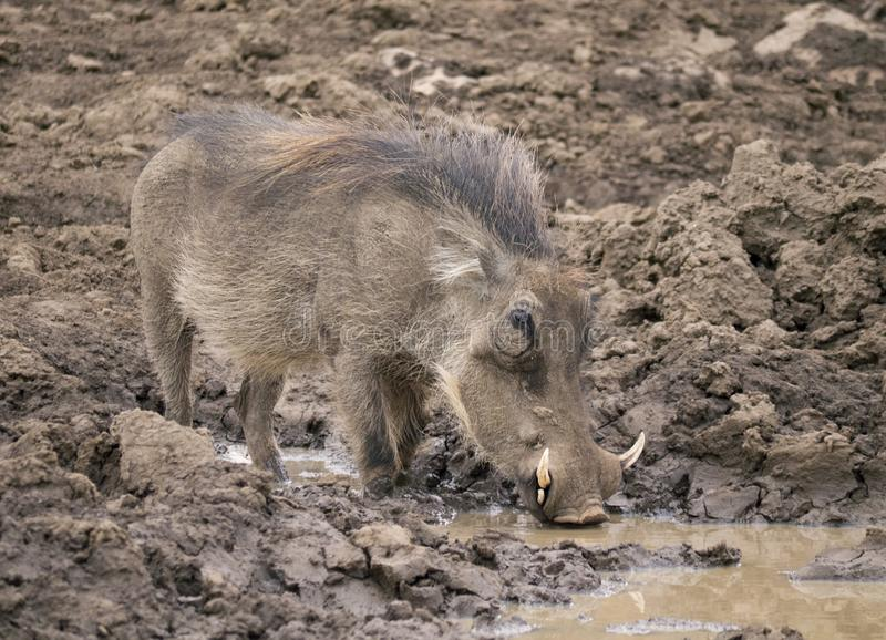 Male warthog drinking from mud puddle stock images