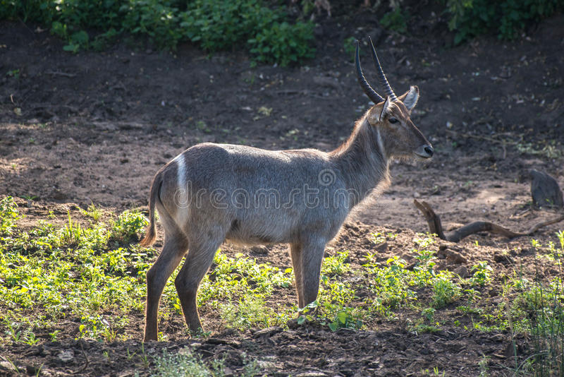 Male Waterbuck. An impressive male waterbuck looking off into the distance in Kruger National Park, South Africa royalty free stock photography