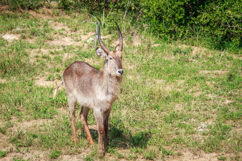 Download Male Waterbuck Starring At The Camera. Stock Photo - Image of markings, horn: 83724046