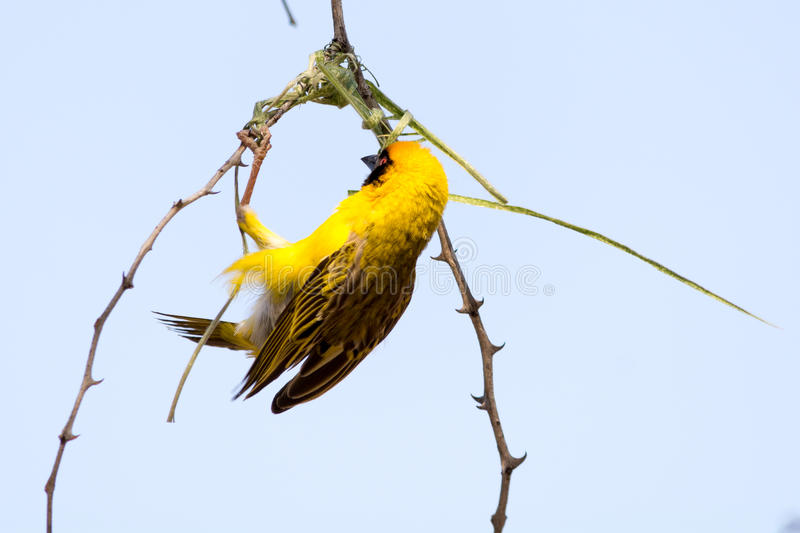 Male Weaver Bird building a nest of grass in the tree. Seen and shot on self drive safari tour through several natural parks at namibia, africa stock photography