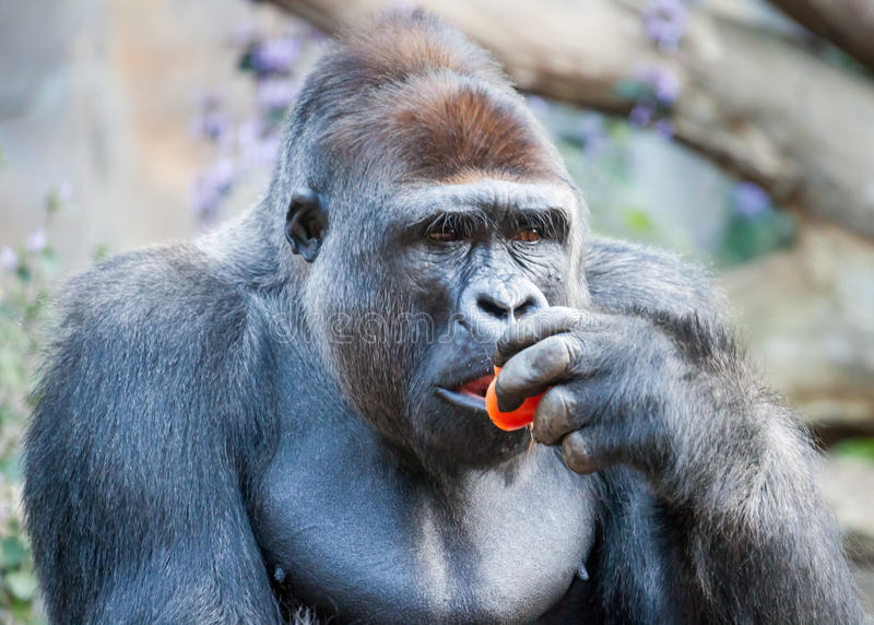Male Western Gorilla Thoughtfully Eating a Red Tomato. Male Western Gorilla or silverback (Gorilla gorilla gorilla) eating a red tomato and looking pensive or royalty free stock photography