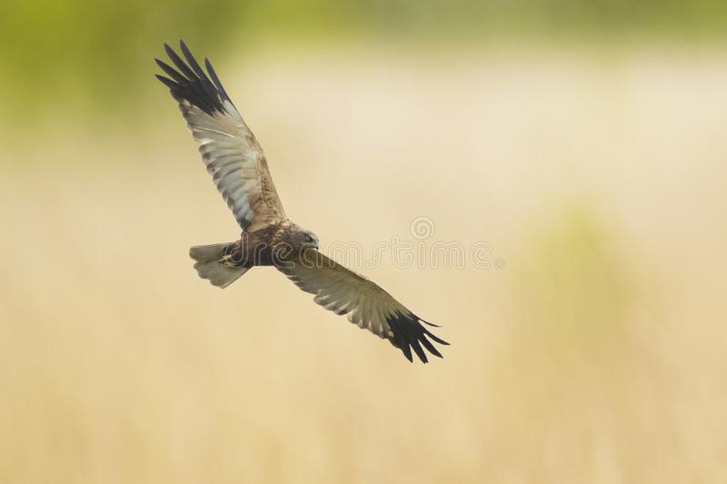 Male Western marsh harrier, Circus aeruginosus, hunting. Male Western marsh harrier, Circus aeruginosus, bird of prey in flight searching and hunting above a royalty free stock images