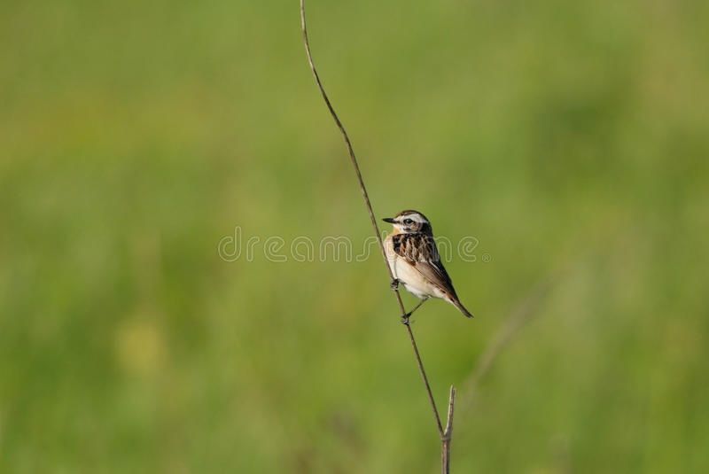 Male whinchat. On a straw stock photos