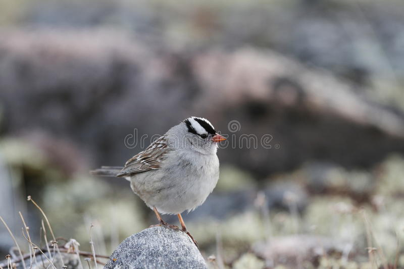 Male White-Crowned Sparrow perching on a rock in an arctic spring. Male White-Crowned Sparrow perching on a rock in spring near Arviat, Nunavut royalty free stock photo
