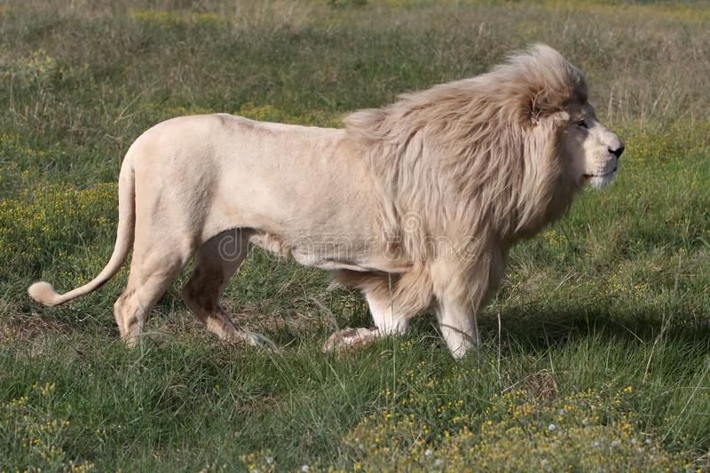 male white för lion royaltyfria bilder