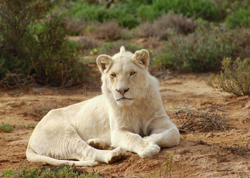 male white för lion arkivfoto