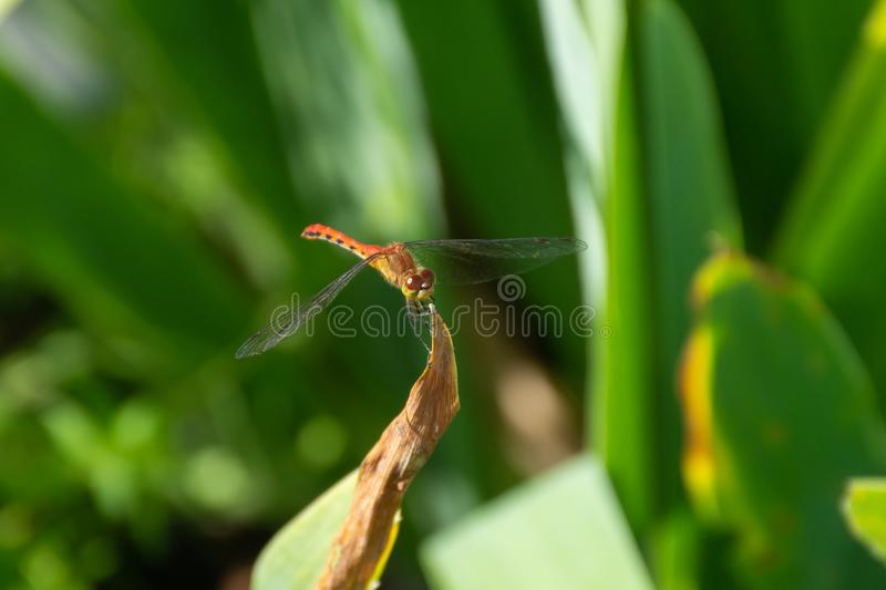 A male White-faced Meadowhawk Sympetrum obtrusum is a dragonfly of the genus Sympetrum perched on a plant in the garden in stock images