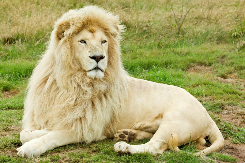 Male white lion. Beautiful male white lion lying in some grass royalty free stock images