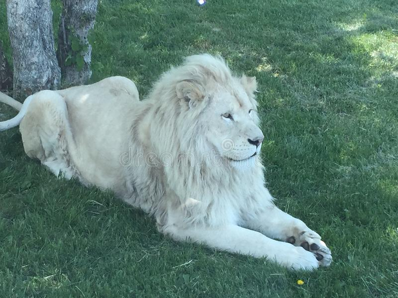 Male white lion. Gorgeous white lion laying in the grass stock photos