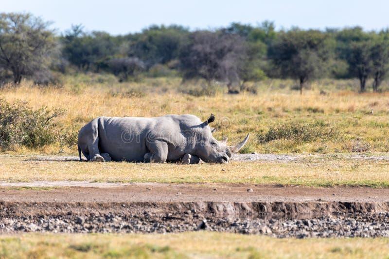 Male of white rhinoceros Botswana, Africa. Resting male of white rhinoceros Khama Rhino Sanctuary reservation, endangered species of rhino, Botswana wildlife stock images