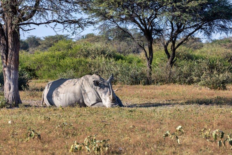 Male of white rhinoceros Botswana, Africa. Resting male of white rhinoceros Khama Rhino Sanctuary reservation, endangered species of rhino, Botswana wildlife royalty free stock photos
