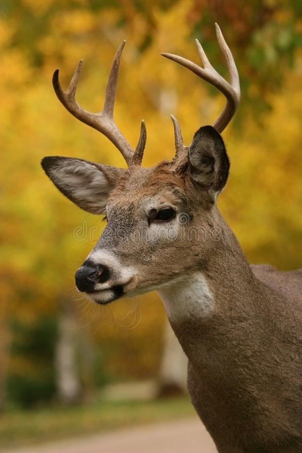 Male white tail deer royalty free stock image