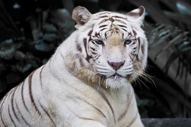 Male white tiger. In Singapore Zoo royalty free stock image