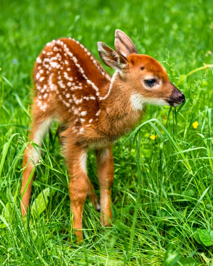 Free Male Whitetail Deer Fawn In Grass Royalty Free Stock Photo - 140419285