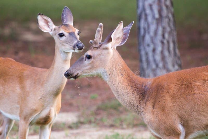 Male whitetail deer late summer velvet spike stock photos