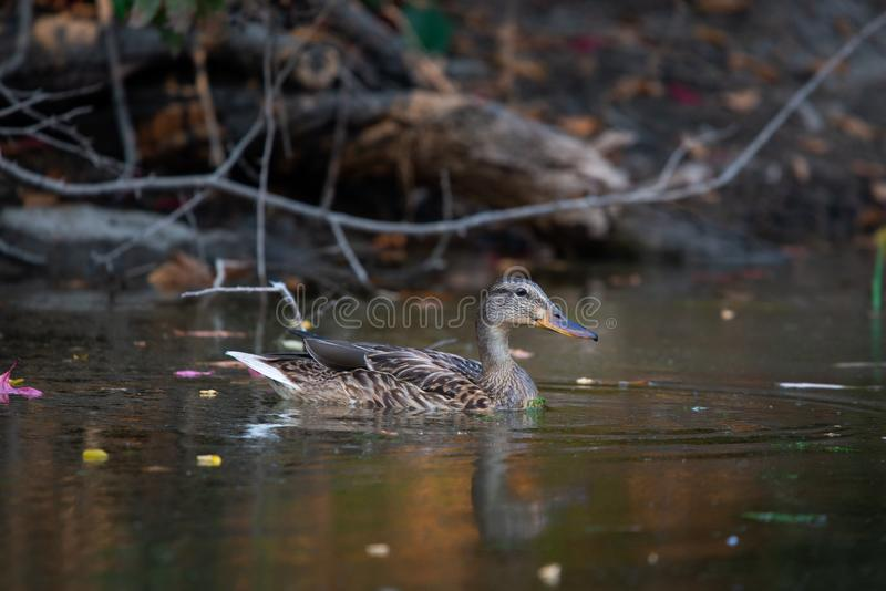 Male wild duck or Anas platyrhynchos swimming in the water. Mallard wild duck, Anas platyrhynchos floating on a lake. Bird, female, nature, pond, river, spring stock photography