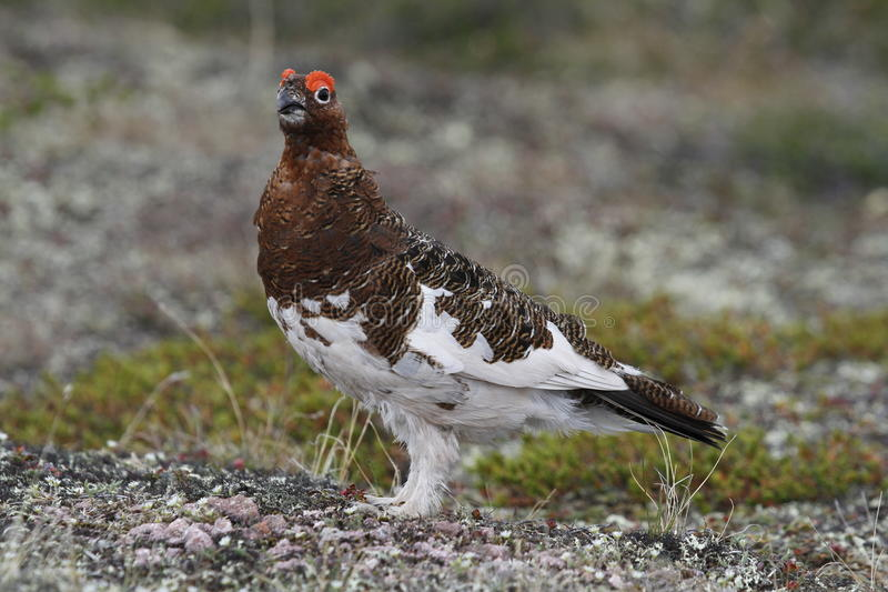 Male Willow Ptarmigan showing fall colours. In the northern tundra royalty free stock photo
