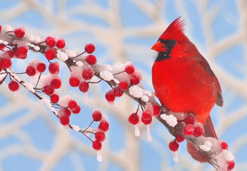 Male Winter Northern Cardinal. A male Northern Cardinal on a snowy branch full of bright red berries