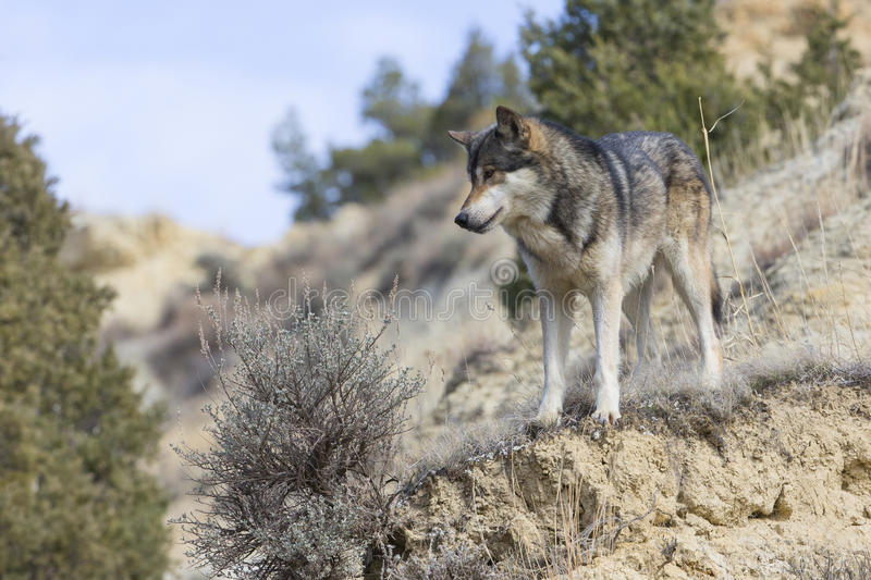 Male wolf looking down ravine stock images