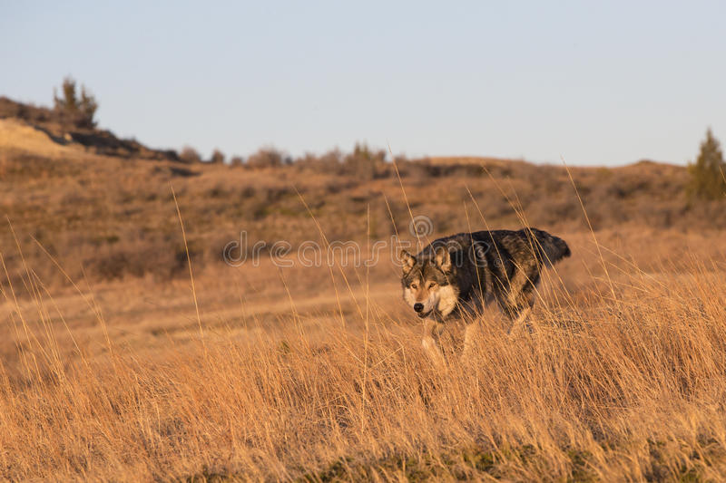 Male wolf on the prowl for food royalty free stock images