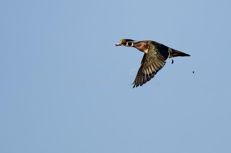 Wood Duck Pooping While Flying in a Blue Sky. Male Wood Duck Pooping While Flying in a Blue Sky stock photography