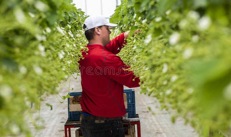 Male Worker at Strawberry Greenhouse royalty free stock photos